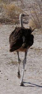Ostrich in Botswana's Kalahari Desert - ExplorationVacation.net