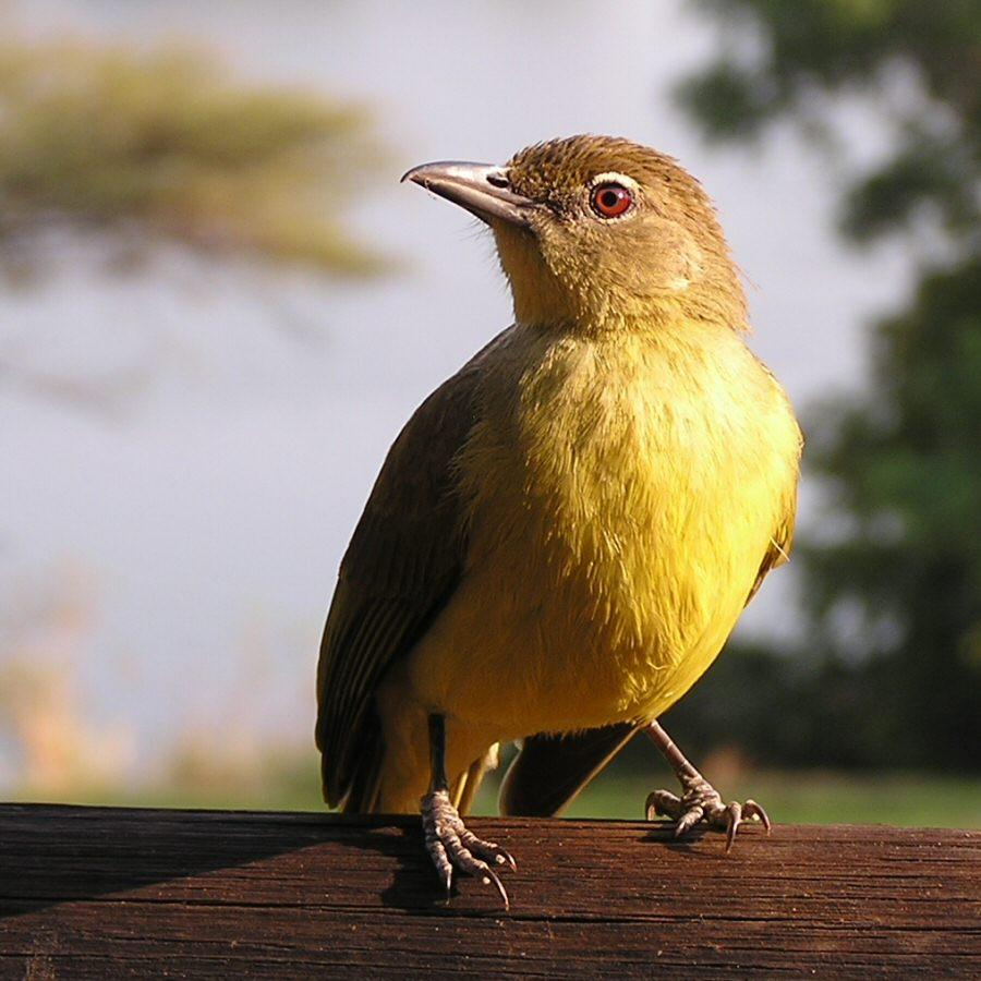Pb1010023 yellow bird - ExplorationVacation