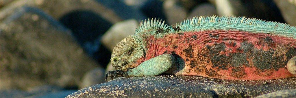 Galapagos Islands iguana pan