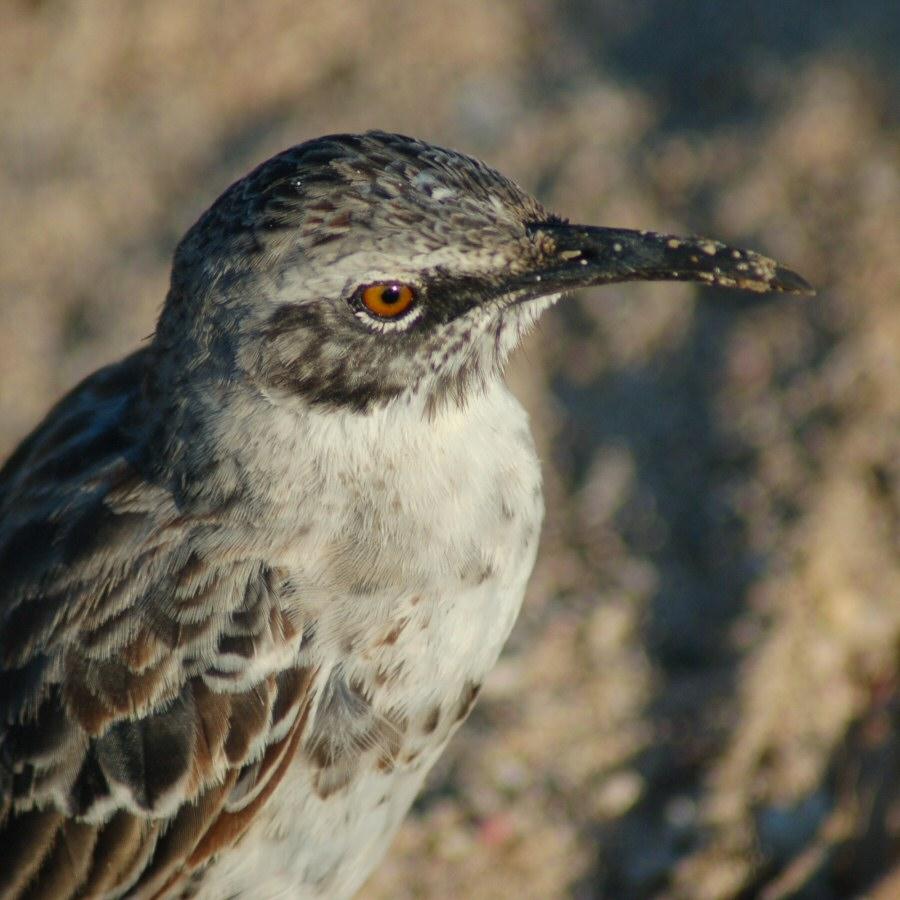 Galapagos mocking bird