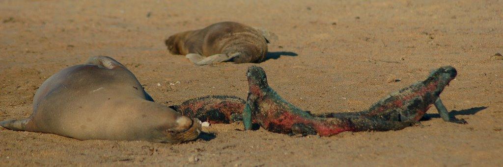 Galapagos sea lions and iguanas