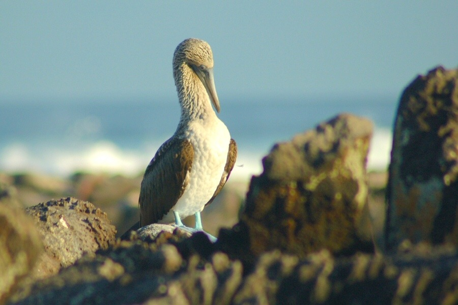 Galapagos Islands blue footed booby