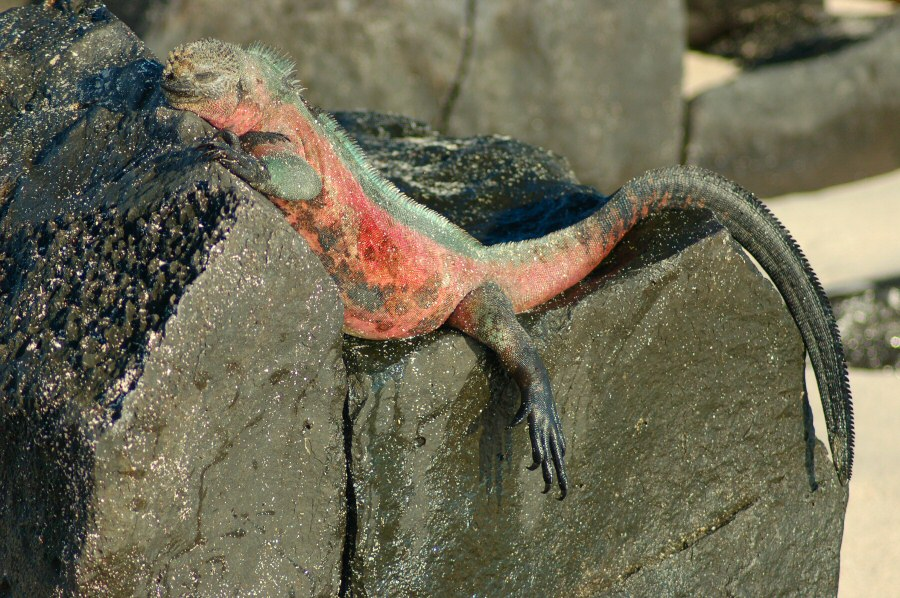 Galapagos Islands - ExplorationVacation 2006-01-05_08_20_51 iguana