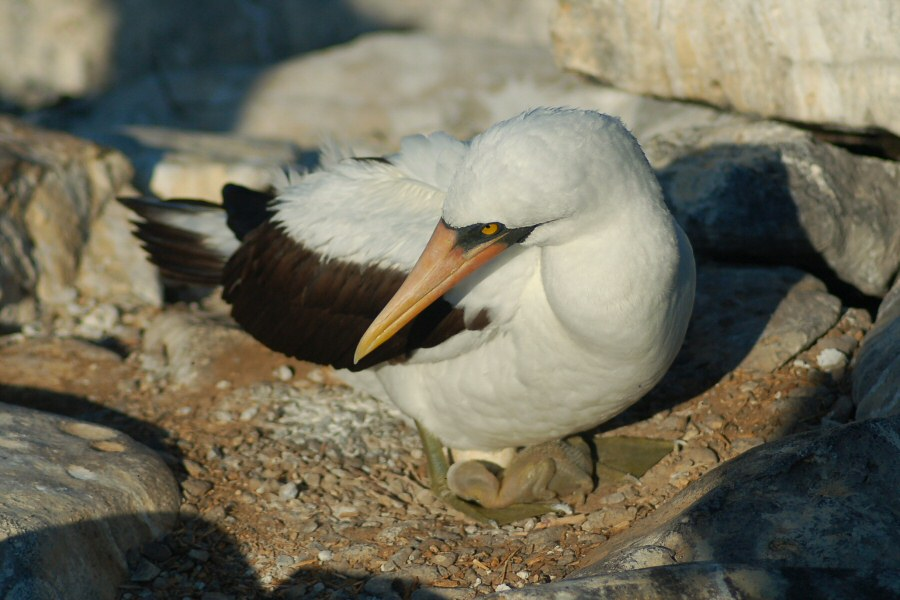Galapagos Islands booby w baby