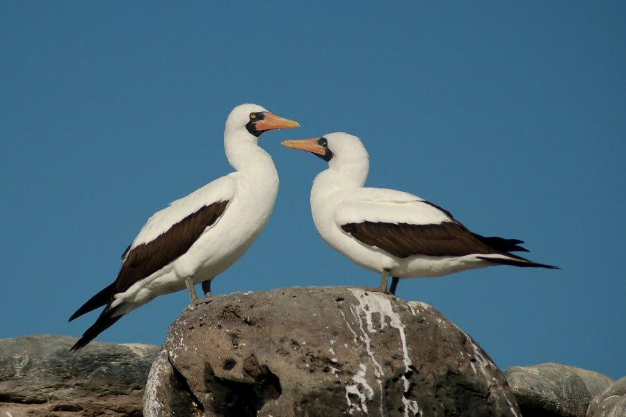 Galapagos Nazca booby