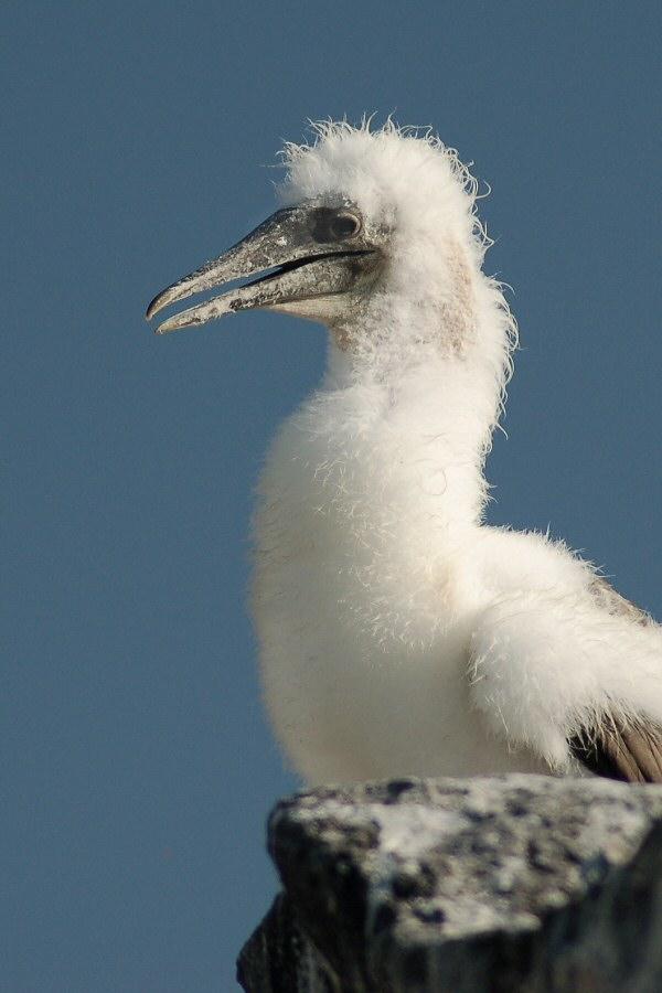 Galapagos Islands baby Nazca booby