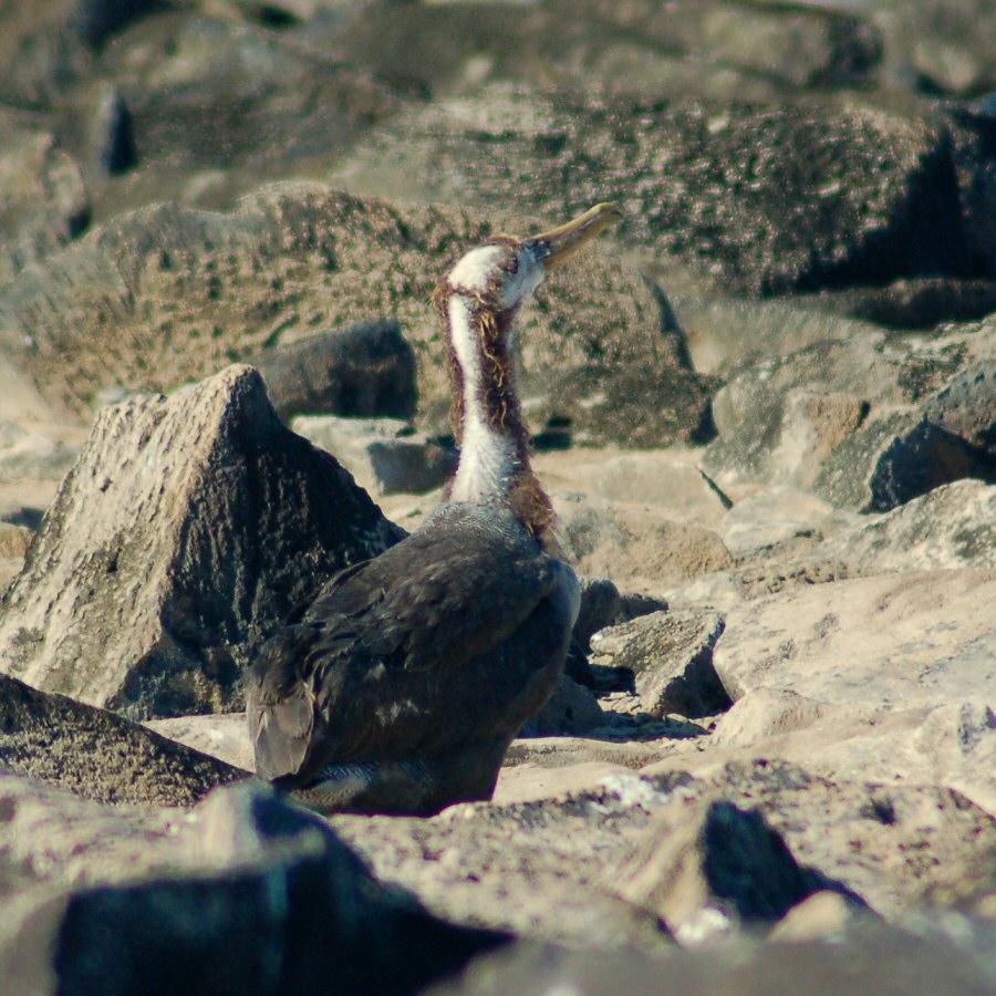 Galapagos Islands baby waved albatross