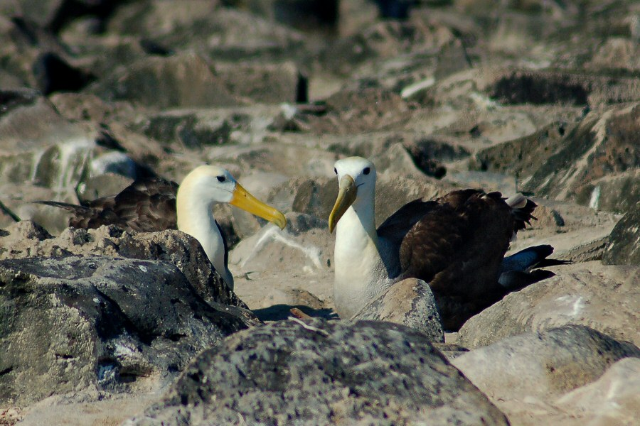 Galapagos Islands waved albatross