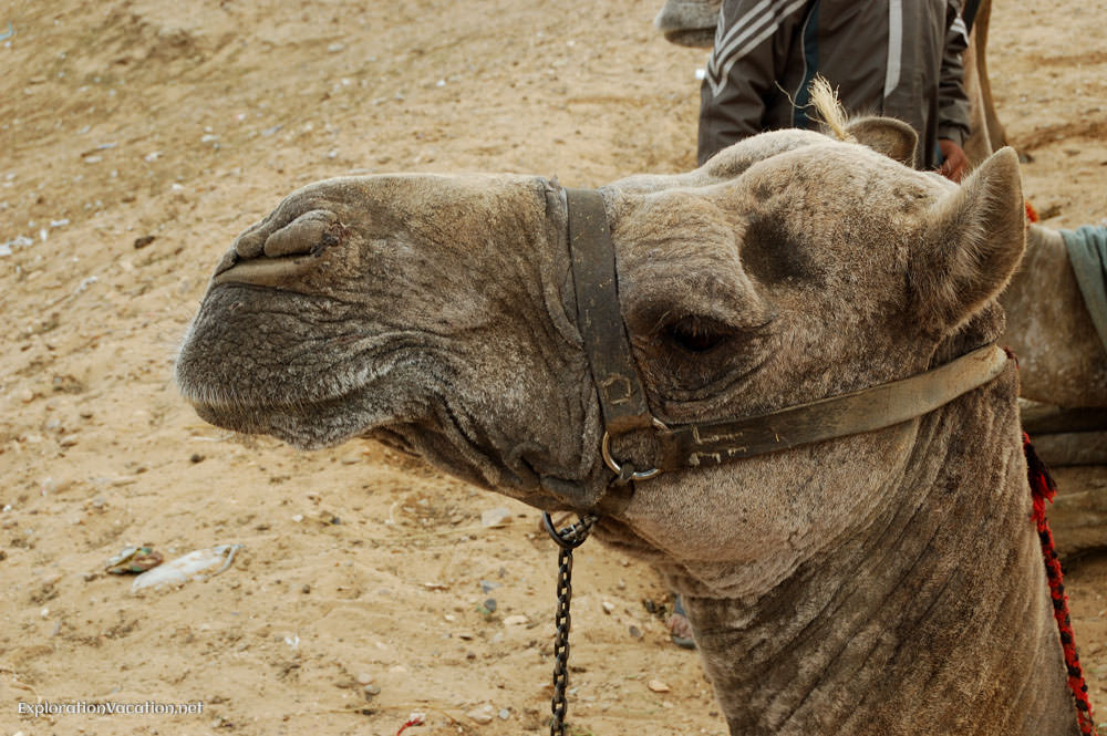Michael Jackson the camel