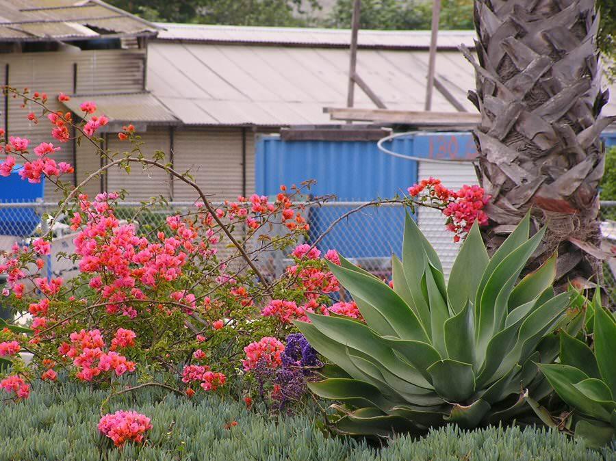 P6010020 blvd planting in junky area of Santa Barbara