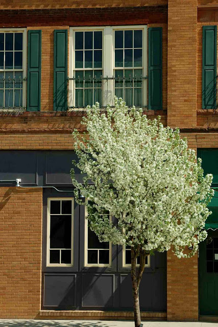 fruit tree in bloom by old buidling in East Grand Forks Minnesota