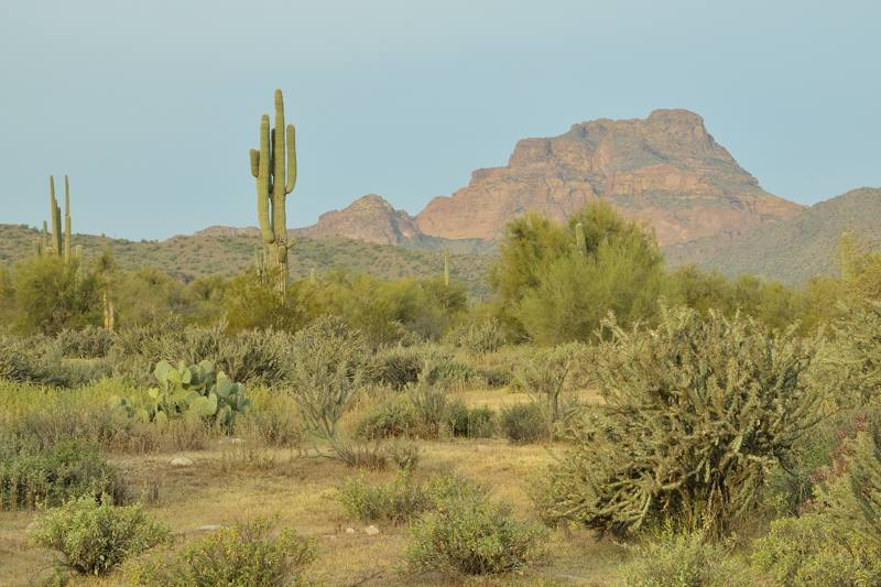 Saguaro and other cacti with distant mountains