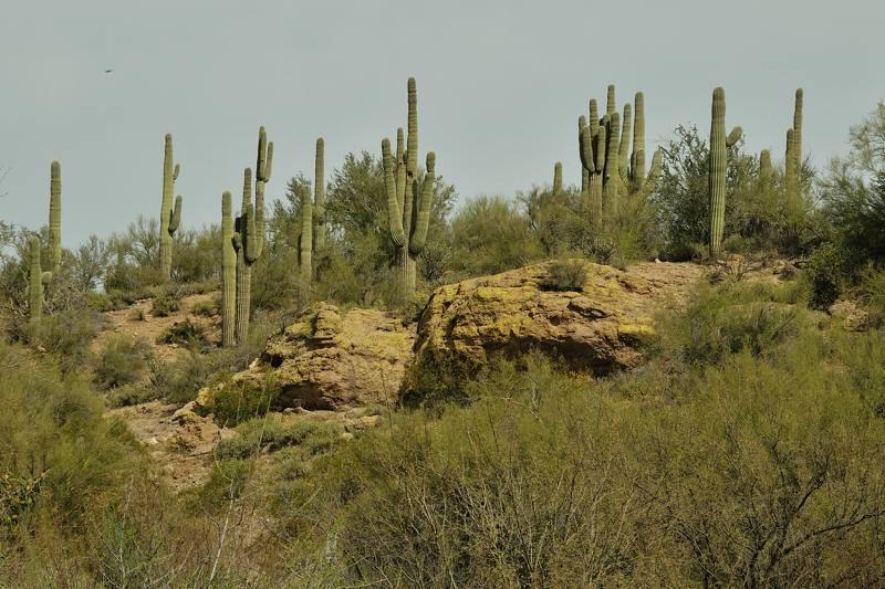 saguaro cactus along the road
