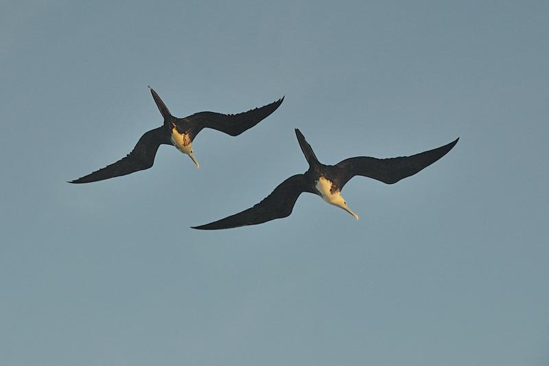 Frigate birds overhead