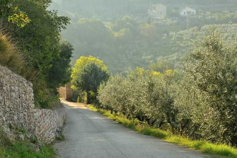 olive trees along a narrow mountain road