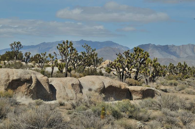 Joshua tree with rocks