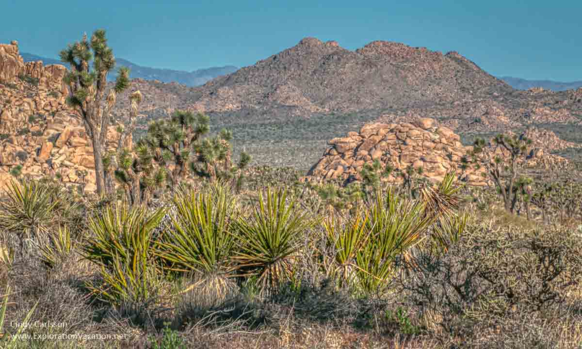 desert landscape with Joshua trees