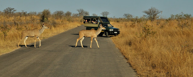 Kudu on the road in south Africa's Kruger National Park - ExplorationVacation.net