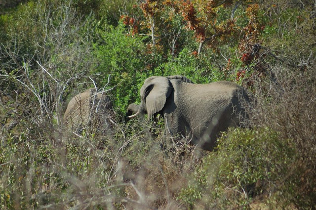 Elephant in south Africa's Kruger National Park - ExplorationVacation.net