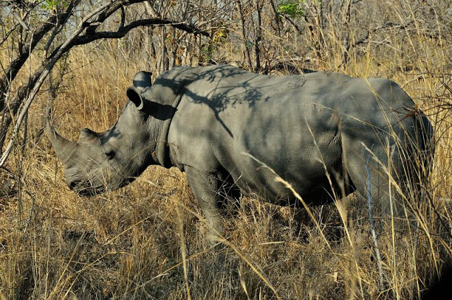 White rhino in south Africa's Kruger National Park - ExplorationVacation.net