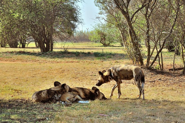 Wild dogs in the Johannesburg, South Africa, Lion Park - ExplorationVacation.net