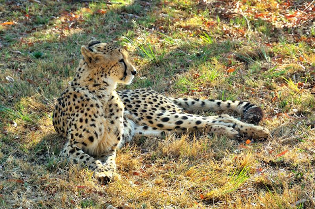 Cheetah in the Johannesburg, South Africa, Lion Park - ExplorationVacation.net