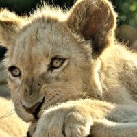 White lion cub in the Johannesburg, South Africa, Lion Park - ExplorationVacation.net