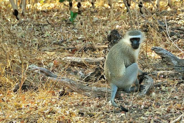 Vervet monkey in south Africa's Kruger National Park - ExplorationVacation.net