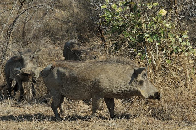 Warthogs in south Africa's Kruger National Park - ExplorationVacation.net