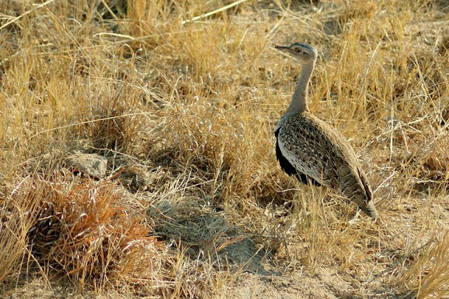 Red-crested korhaan in south Africa's Kruger National Park - ExplorationVacation.net
