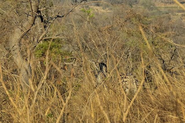 Zebra in south Africa's Kruger National Park - ExplorationVacation.net