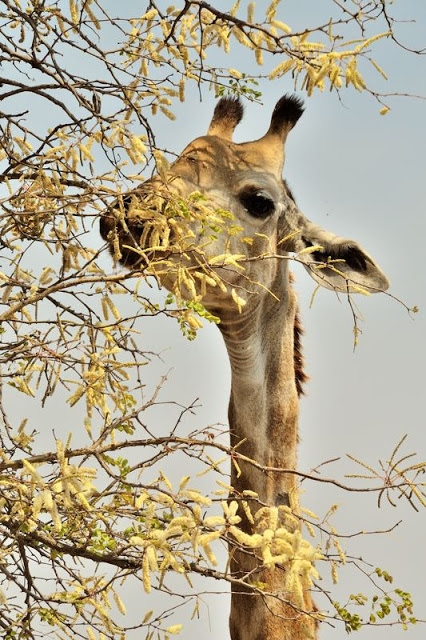 Giraffe in South Africa's Kruger National Park - ExplorationVacation.net