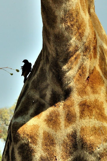 Bird on a giraffe in South Africa's Kruger National Park - ExplorationVacation.net