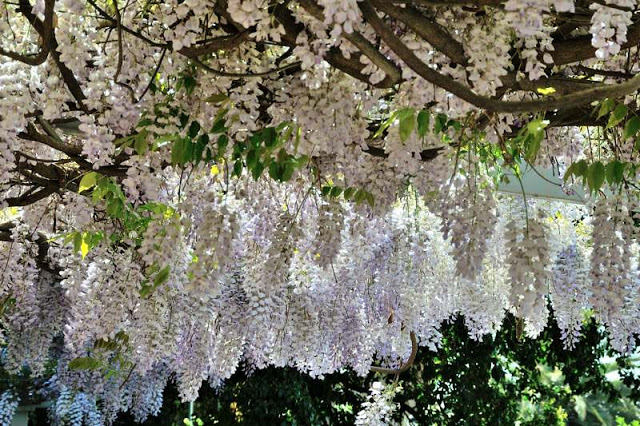 Wisteria at the Protea Hotel Wanderers in Johannesburg, South Africa - ExplorationVacation.net