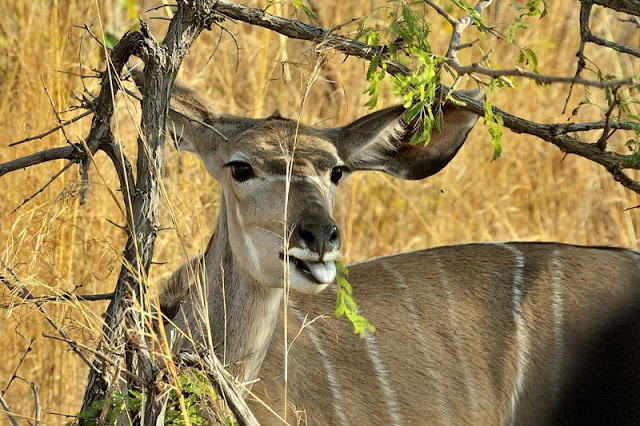 Kudu in south Africa's Kruger National Park - ExplorationVacation.net