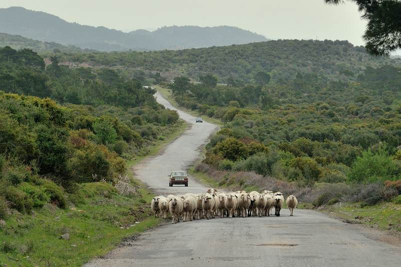 sheep on a small rural road