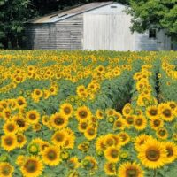 blooming sunflower field and white shed