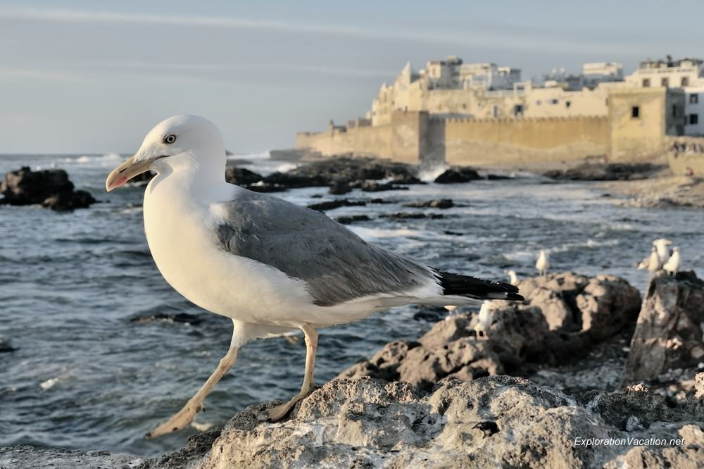 sea gull at Essaouira