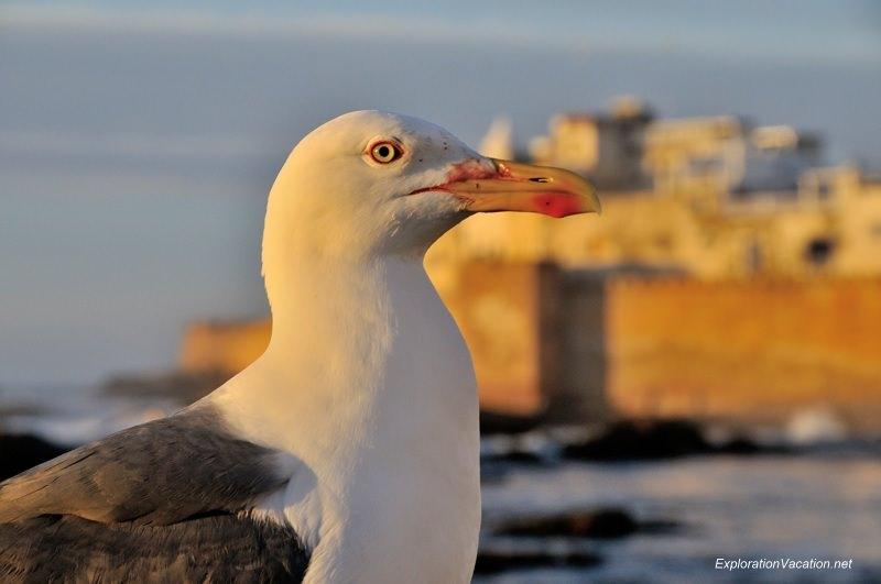 Essaouira seagulls 10 DSC_8691