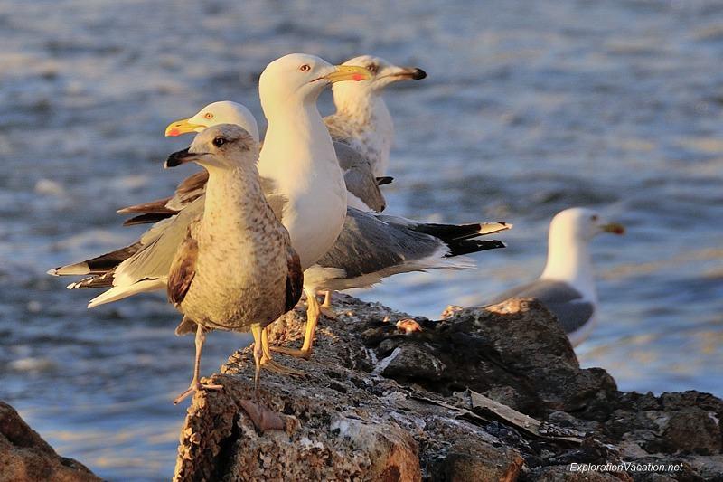 Essaouira seagulls 12 DSC_8673