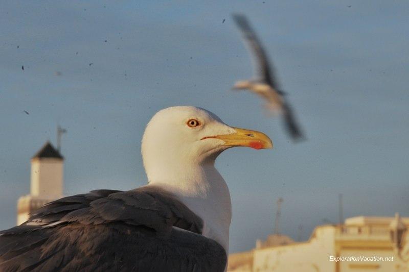 Essaouira seagulls 2 DSC_2339