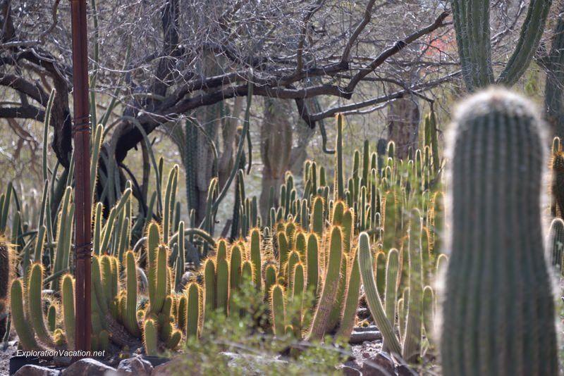 Desert Botanical Garden Phoenix Arizona 10 20140217-DSC_6193