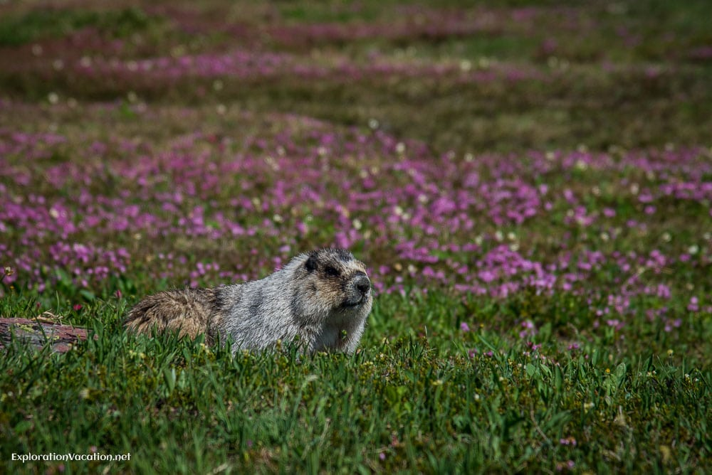 hoary marmots in Glacier National Park, Montana - ExplorationVacation.net
