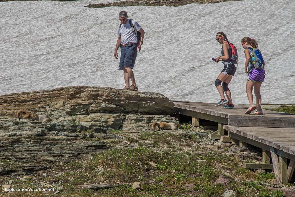 Hoary marmots in Glacier 20140729-DSC_1426