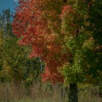 red tree in Afton State Park
