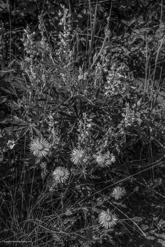 Fleabane and lupine at Waterton Lakes NP - ExplorationVacation