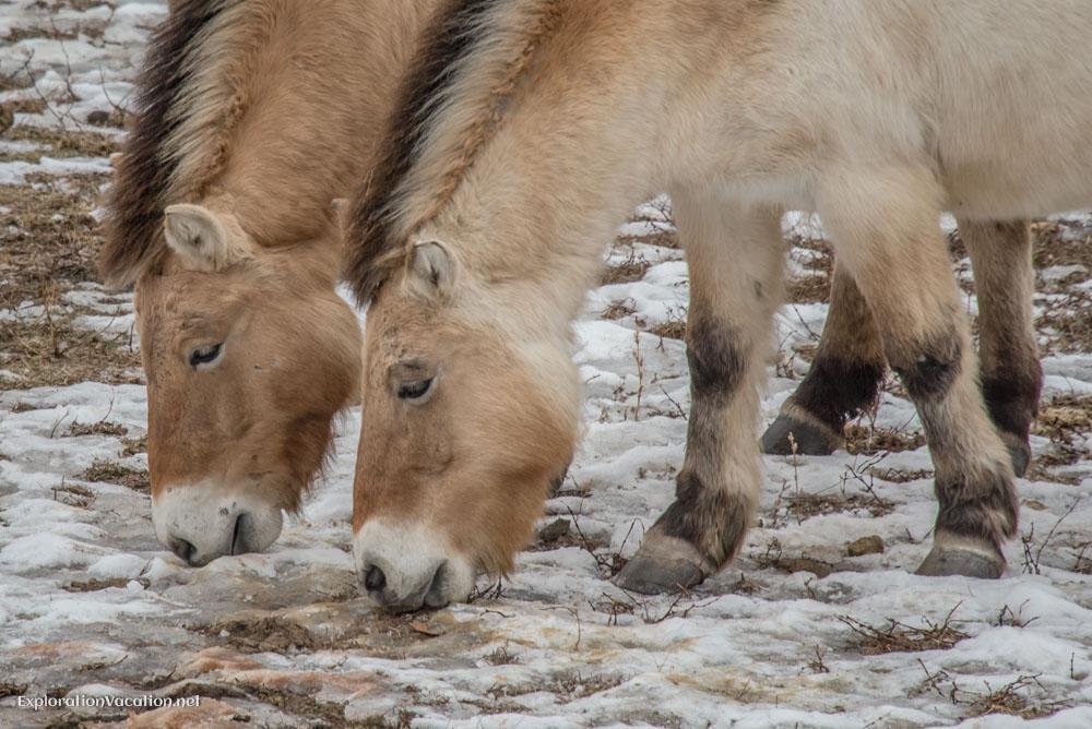 Wild horses at the Minnesota Zoo - ExplorationVacation.net