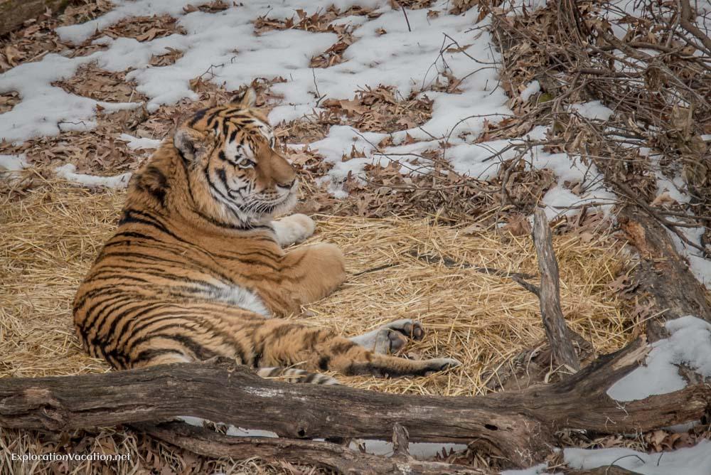 Tiger at the Minnesota Zoo - ExplorationVacation.net