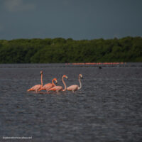 Flamingos at Celestun Mexico