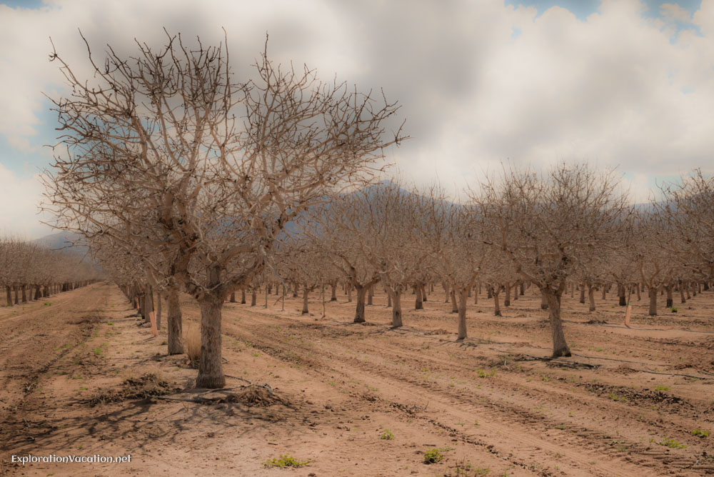 Orchards or groves near Bowie Arizona - ExplorationVacation.net